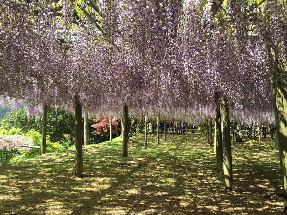 紫藤花 福岡