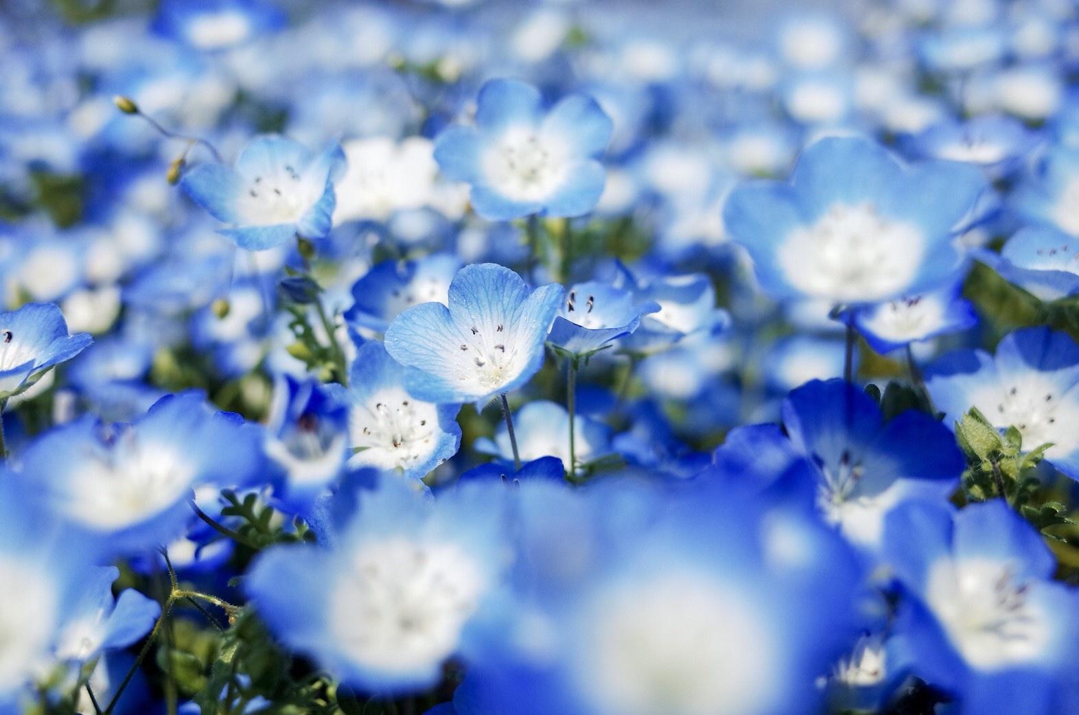 福岡 粉蝶花