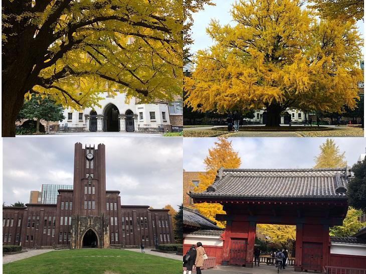 東京大學 銀杏