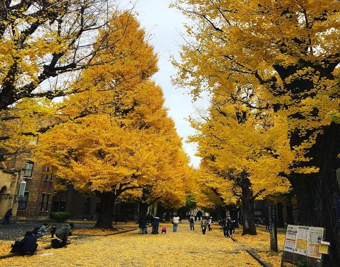 銀杏 東京大學
