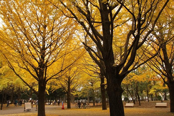 光之丘公園 銀杏