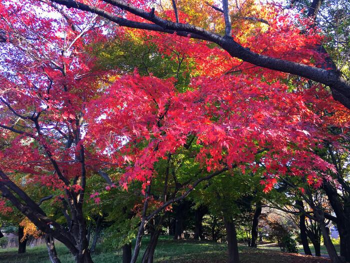 國營昭和公園 楓葉