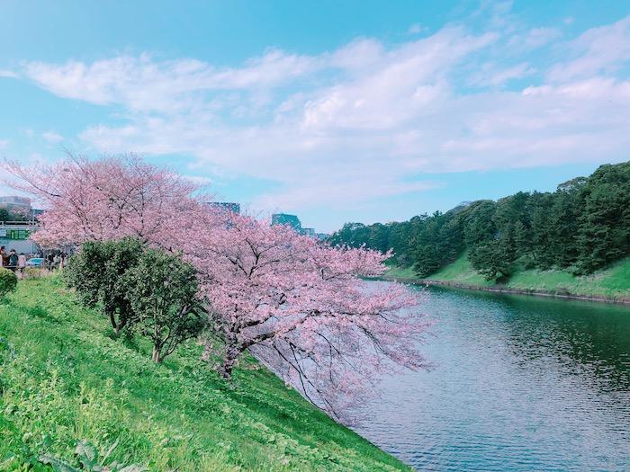 護城河櫻花