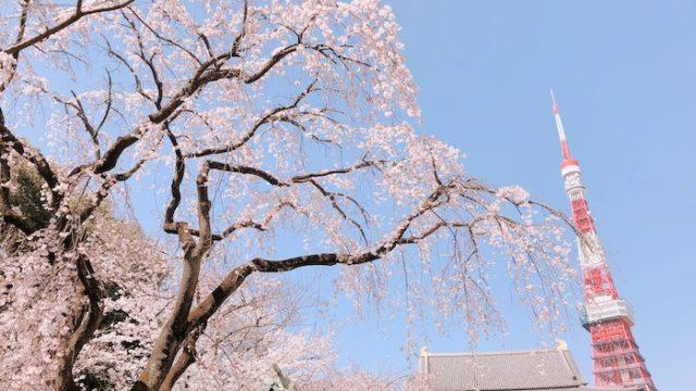 增上寺 櫻花